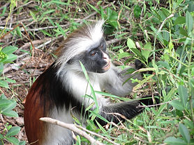 colobus monkey.jpg