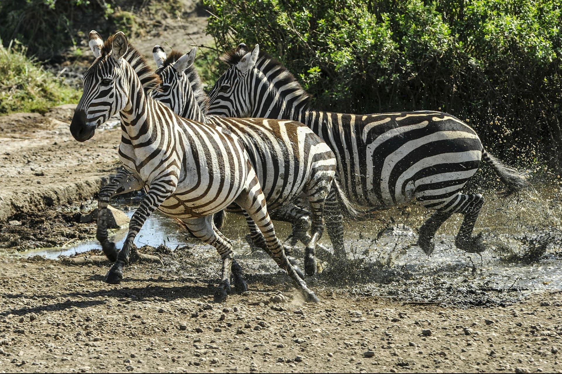 zebras in mud