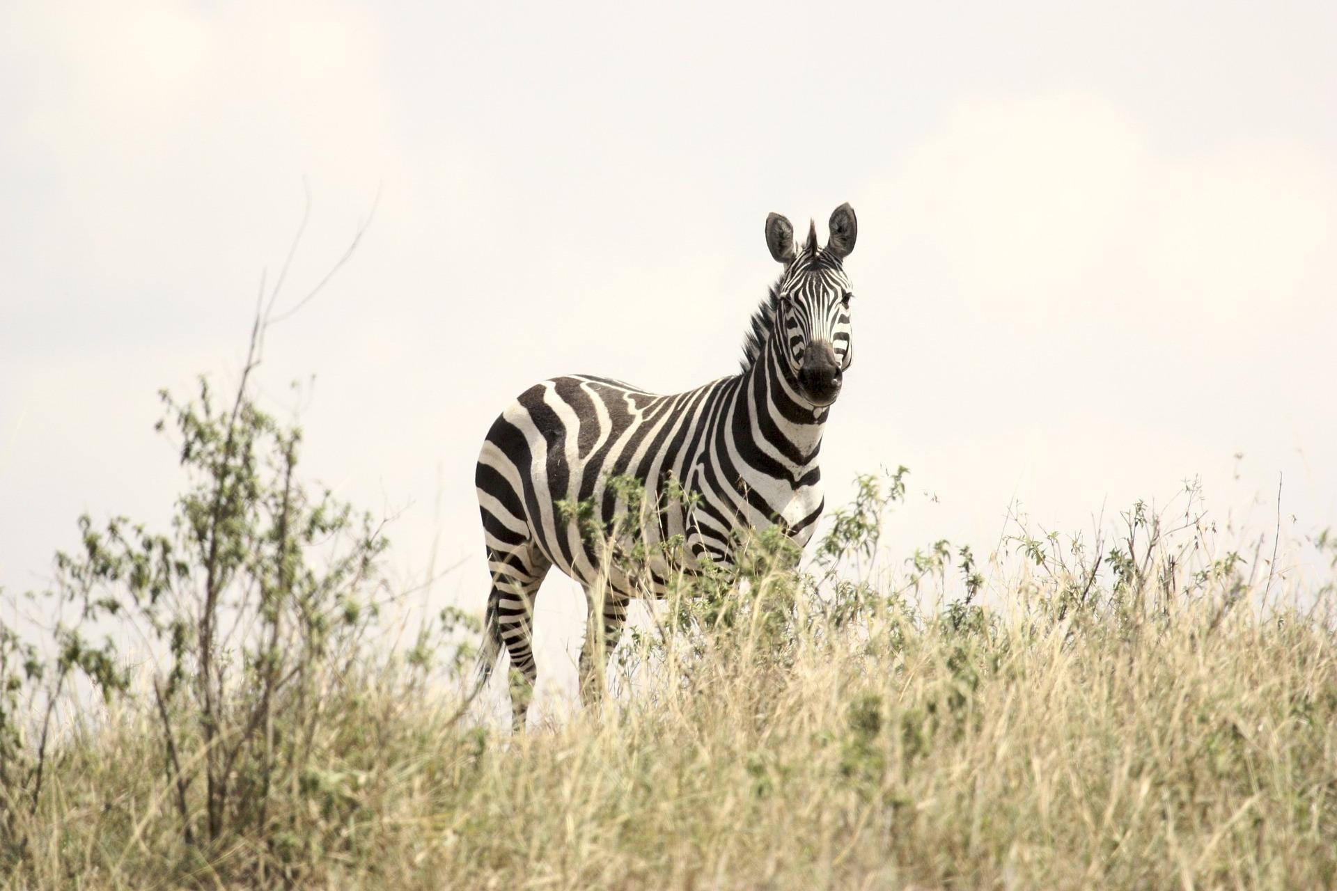 Zebra in steppe