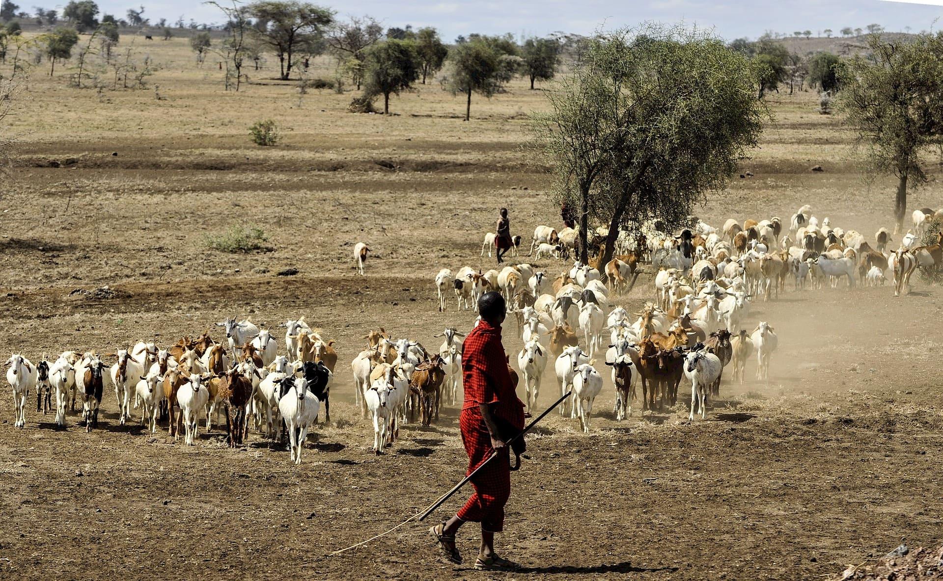 Massai with goats