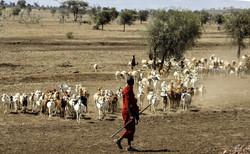 Maasai vor einer Ziegenherde