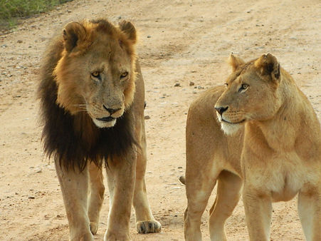Male and female lion.jpg