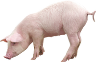 pig_PNG2215.png