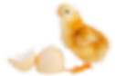 chick-transparent-day-old-5.png