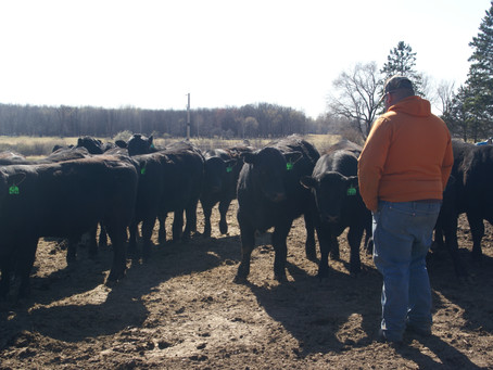 Clipping Bulls & Heifers later this week!