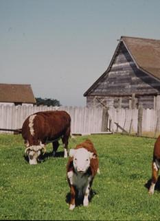 Dino's cows.jpg