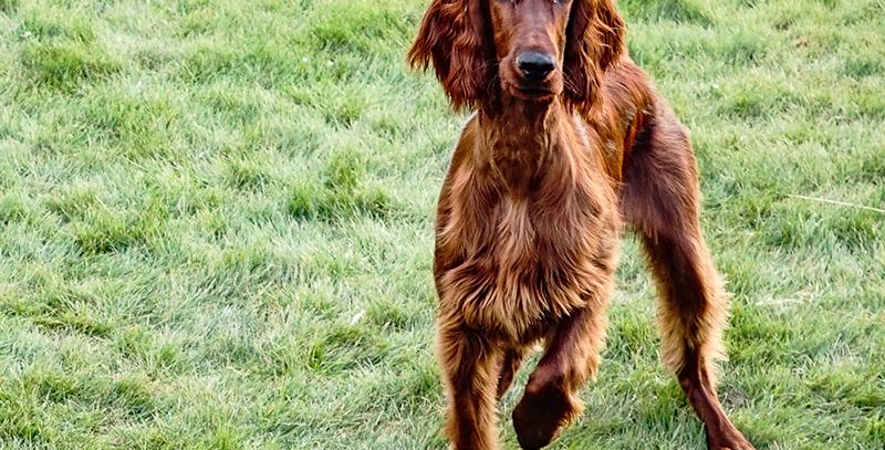 Obedeiencia Canina - Cachorros  - Presencial