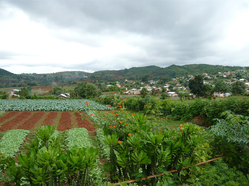 The drive to Pindaya is full of color – trees, vegetables, plants