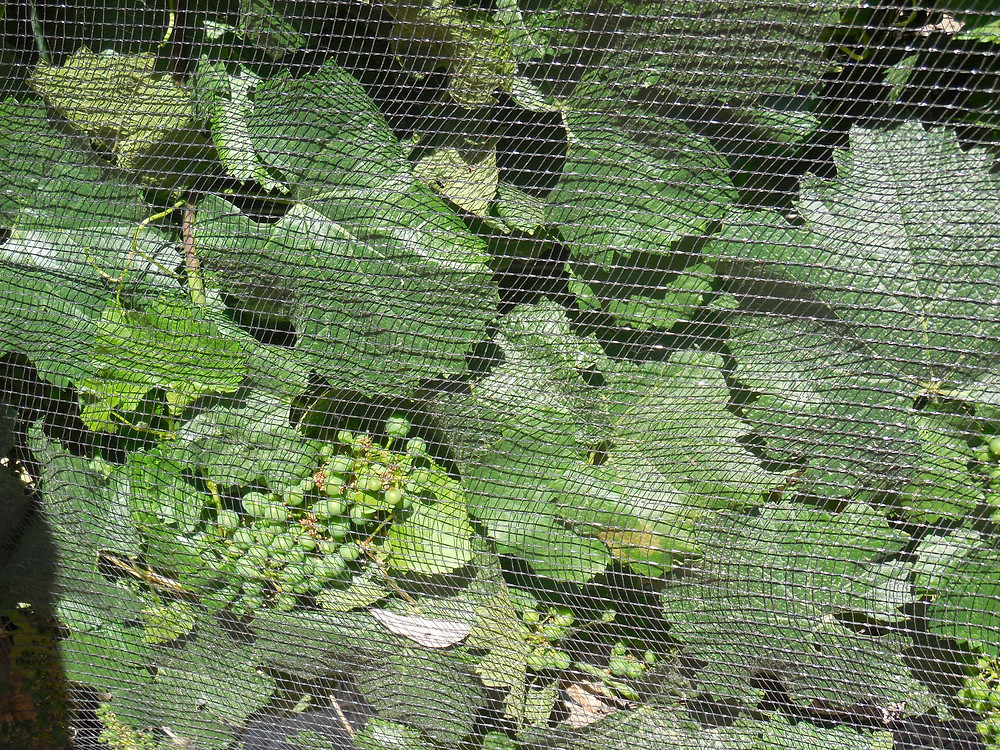 Grape vines are covered with nets at Bodega Pulenta Estate to protect the grapes from hailstorms and to a lesser degree birds