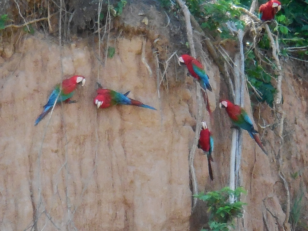 Macaws are eating the clay on the riverbank walls