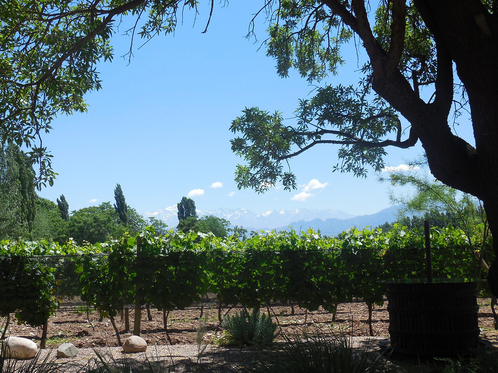 Looking through the trees at the vineyards of Bodega Casarena