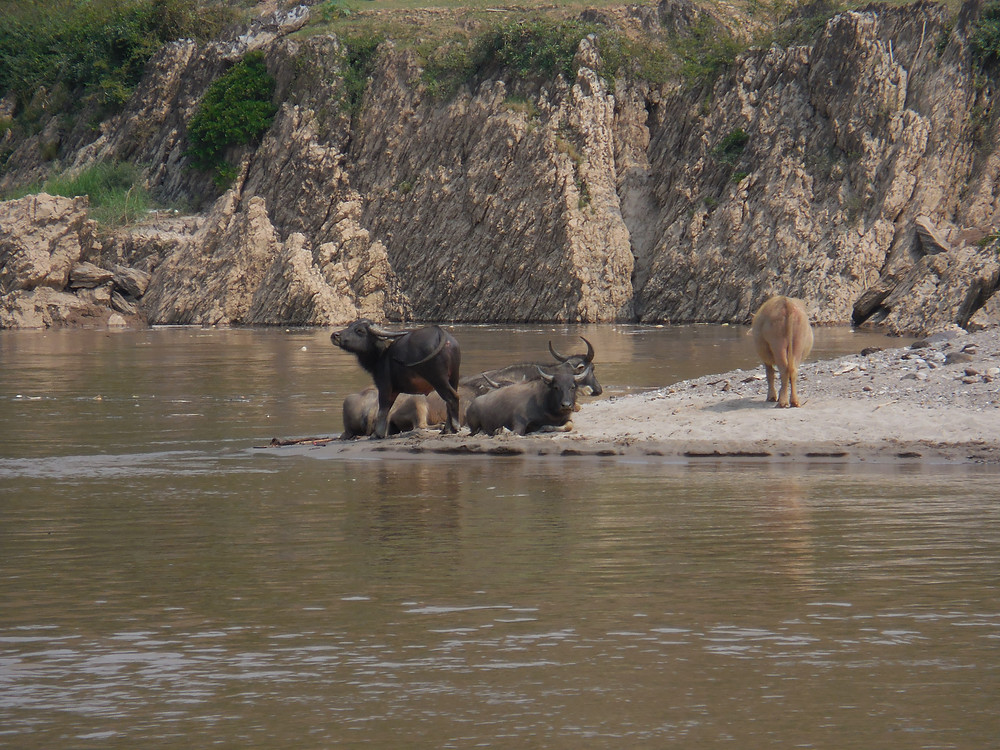 Water buffalo lie by the edge of the river as we pass by