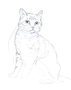british shorthair sketch
