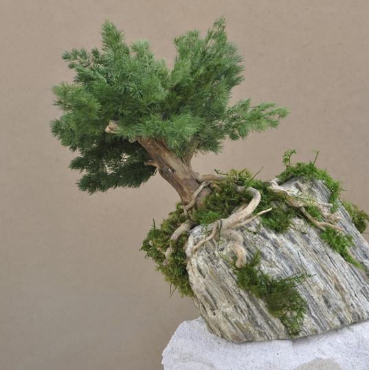Taş Üzerine Mumyalanmış Bonzai Ağaç