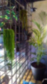 amarantus_dondurulmuş_biti.jpg