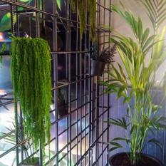 Amarantus dondurulmuş bitki