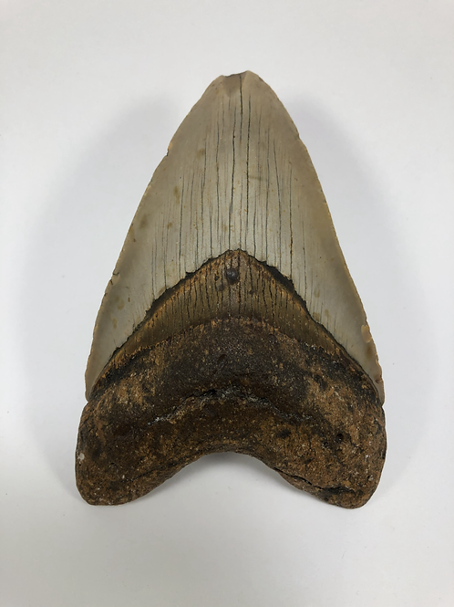 """4.91"""" Fossil Megalodon Shark Tooth"""