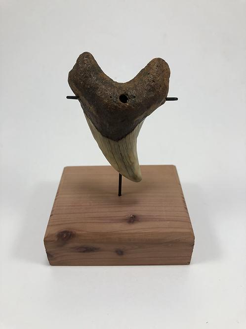 "2.69"" Fossil Benedini Shark Tooth- **On Inverted Me"