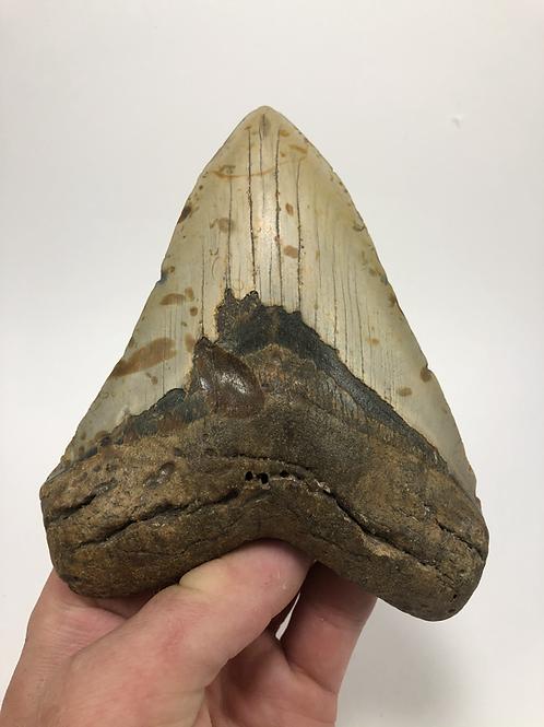 "5.64"" Principal Upper Fossil Megalodon Shark Tooth"