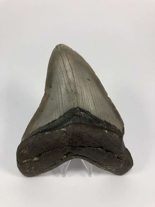 """5.37"""" Fossil Megalodon Shark Tooth"""