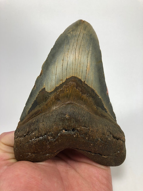 """5.83"""" Fossil Megalodon Shark Tooth"""
