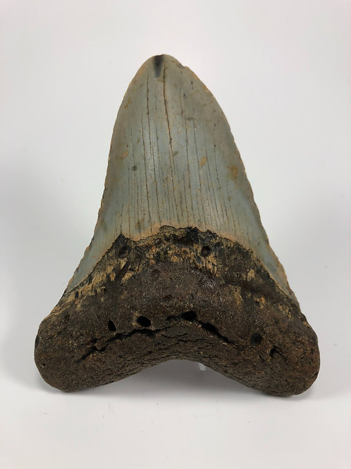 """5.44"""" Fossil Megalodon Shark Tooth"""