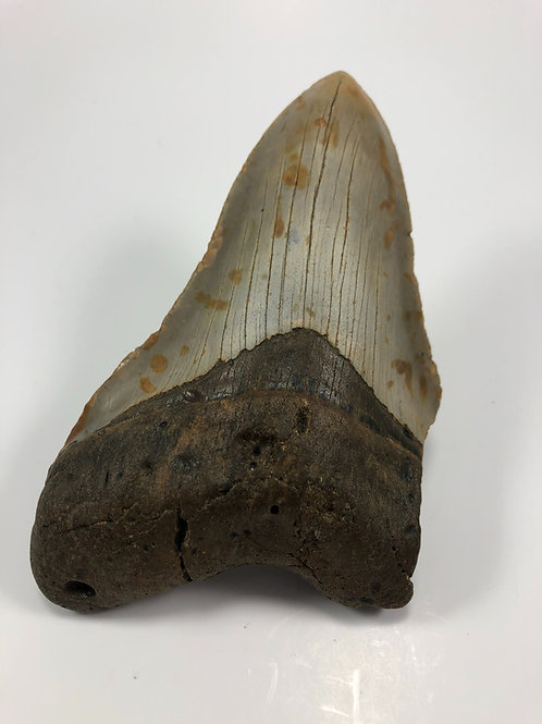 "5.68"" Fossil Megalodon Shark Tooth"