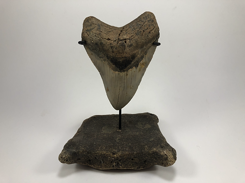 "5.41"" Sharp Fossil Megalodon Shark Tooth  **Inverted on Whale Bone"