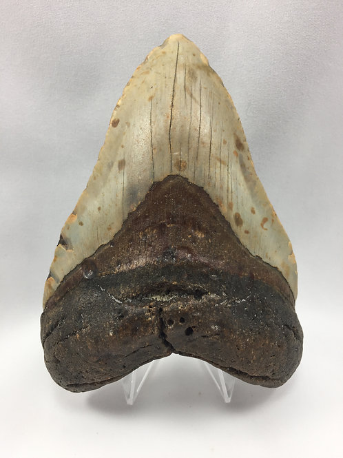 """5.30"""" Fossil Megalodon Shark Tooth"""