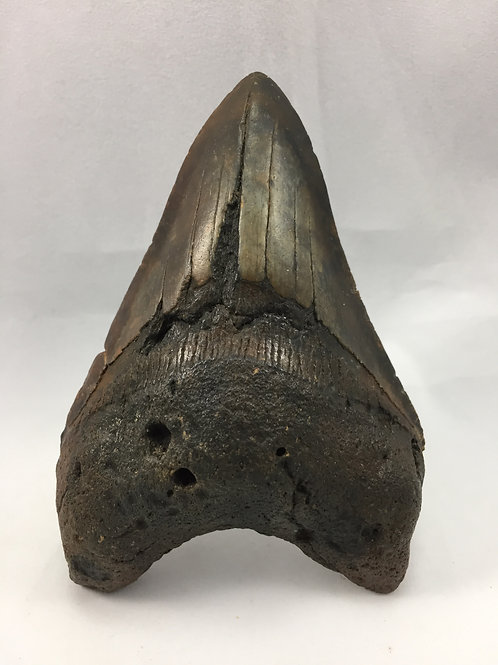 """4.47"""" Fossil Megalodon Shark Tooth"""