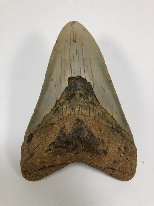 """4.49"""" Fossil Megalodon Shark Tooth"""