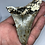 "Thumbnail: 3.93"" Uncleaned Fossil Megalodon Shark Tooth"
