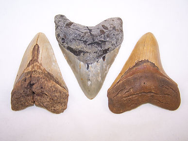 Scuba Diving High Quality North Carolina Fossil  Megalodon Tooth