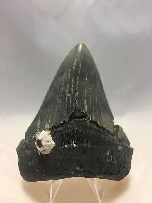 "4.41"" Serrated Megalodon Shark Tooth"