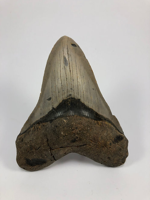 "5.18"" Fossil Megalodon Shark Tooth"