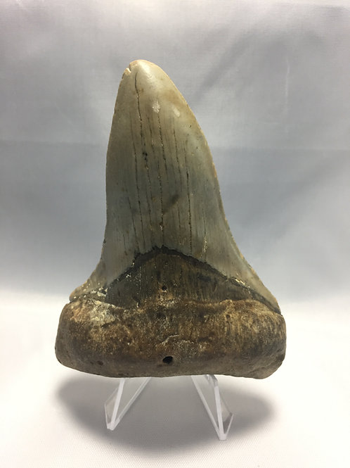 "4.31"" Twisted Pathologic Fossil Megalodon Shark Tooth"