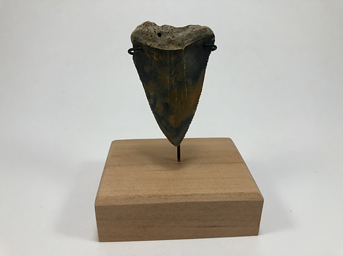 "2.42"" Fossil Great White Shark Tooth- **On Inverted Me"