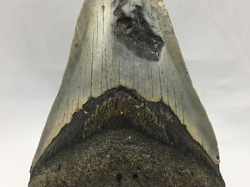 """4.62"""" Fossil Megalodon Shark Tooth"""