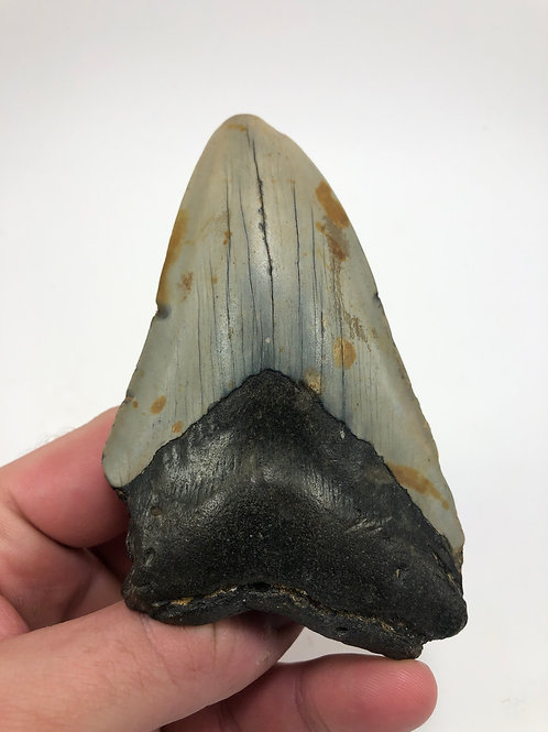 """4.40"""" Fossil Megalodon Shark Tooth"""