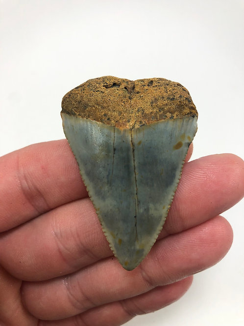 "2.23"" Fossil Great White Shark Tooth"