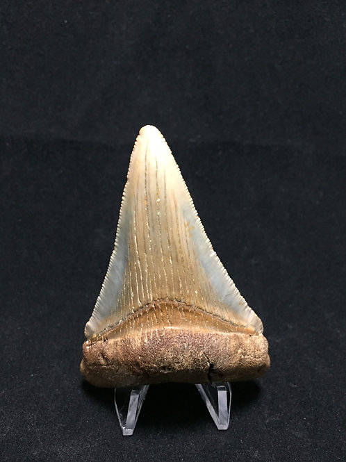 "2.88"" Blue & Brown Fossil Chubutensis Shark Tooth"