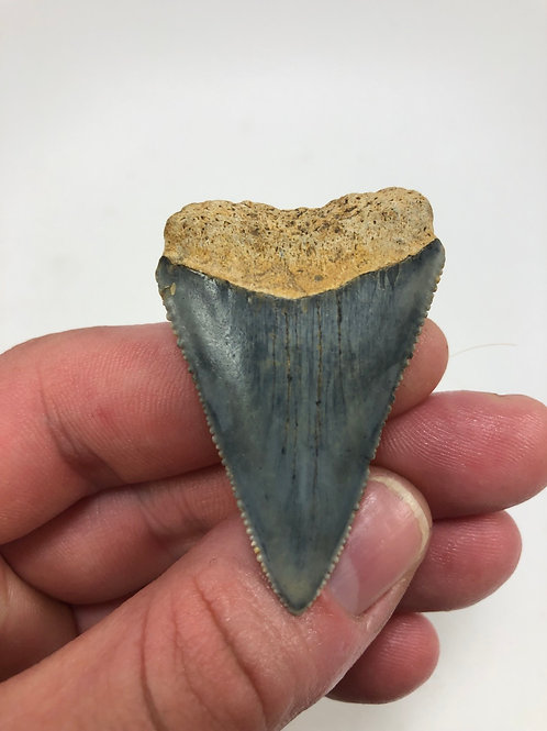 "2.09"" Fossil Great White Shark Tooth"