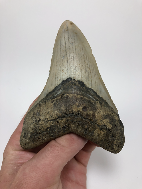 "4.85"" Fossil Megalodon Shark Tooth"