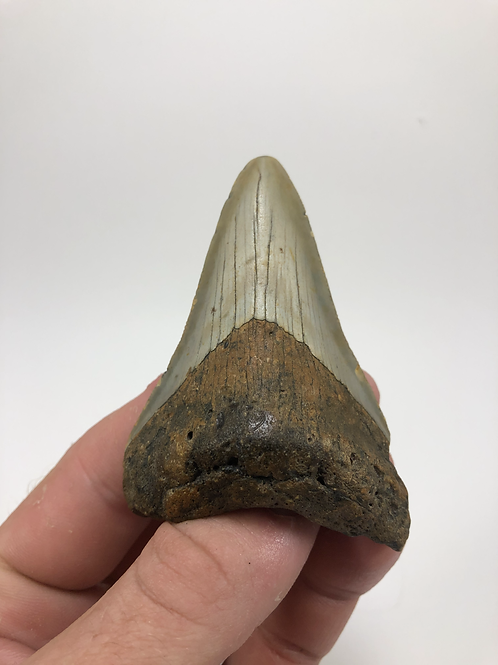 """3.12"""" Fossil Megalodon Shark Tooth"""