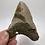 "Thumbnail: 4.11"" Holy Fossil Megalodon Shark Tooth"