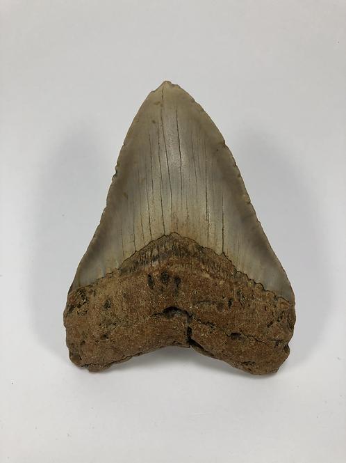 "4.32"" Orange Fossil Megalodon Shark Tooth"
