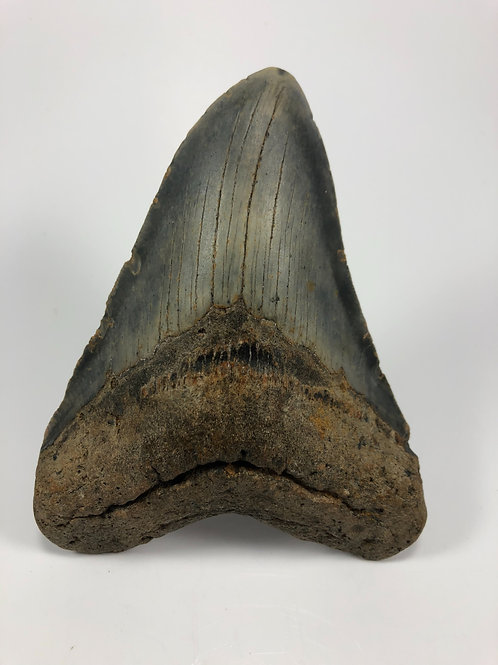 """5.29"""" Fossil Megalodon Shark Tooth"""