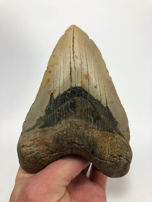 """5.56"""" Fossil Megalodon Shark Tooth"""