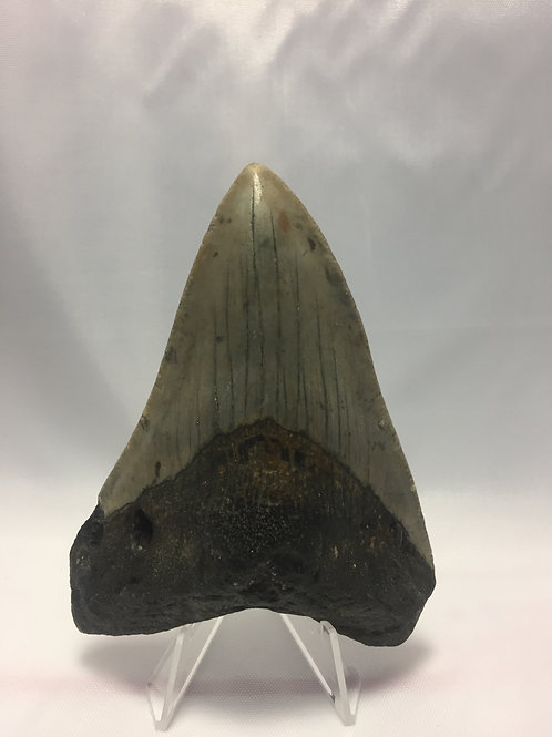 "4.13"" Fossil Megalodon Shark Tooth"