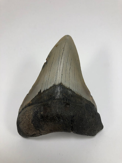 "3.86"" Fossil Megalodon Shark Tooth"
